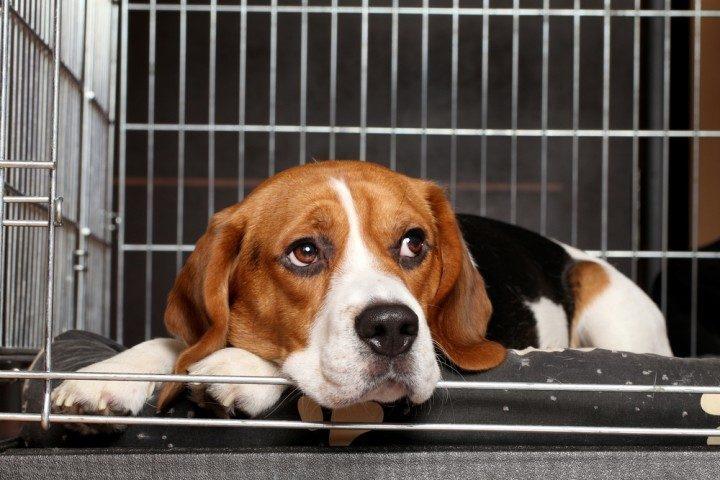 При тревожном звуке собаки ложились на пол и скулили - и даже не делали попыток избежать удара тока.