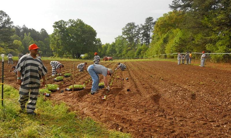 В США заключённые частных тюрем вполне легально трудятся на правах... рабов на плантациях владельцев мест заключения.