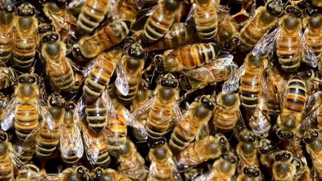 НАТО призывает на военную службу пчёл