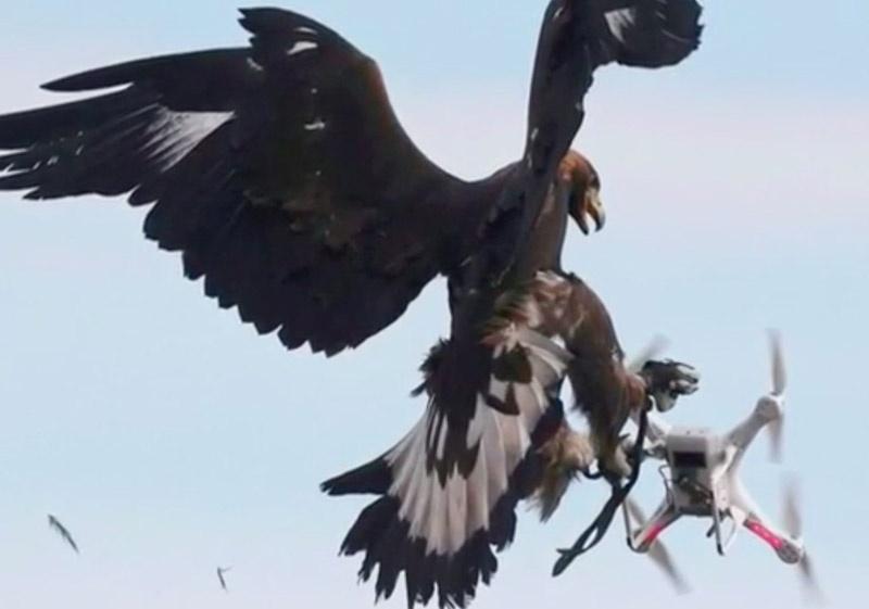 Французская армия тренирует орлов атаковать дроны.