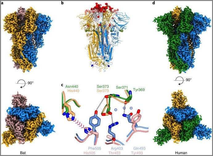 По генетическому строению вирус COVID-19 максимально близок к коронавирусу RaTG13.