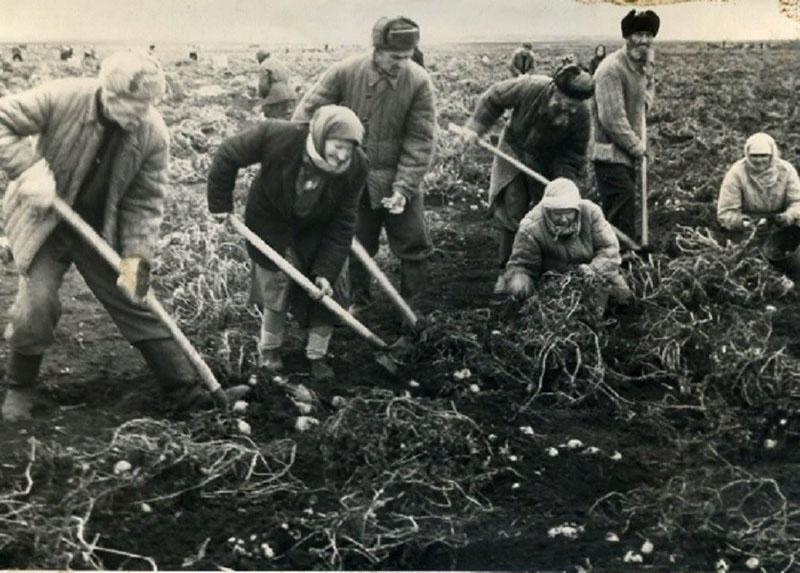 Уборка картофеля в колхозе.