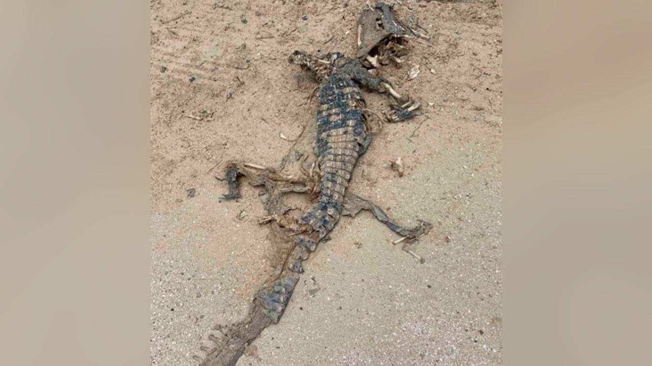После отъезда Блинкена и Нуланд на азовском побережье Украины нашли мёртвого крокодила. К чему бы это?