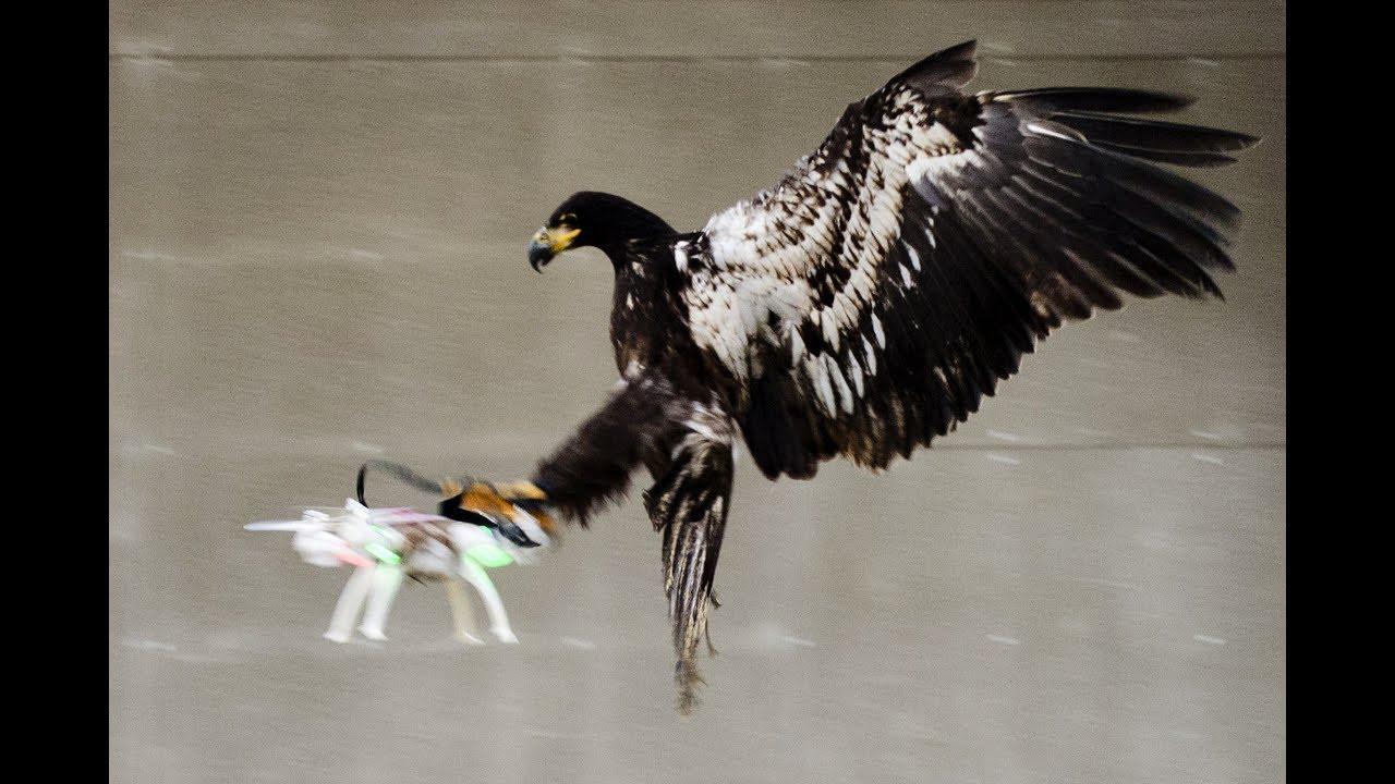 В Голландии и Франции против БПЛА пытались применять хищных птиц.