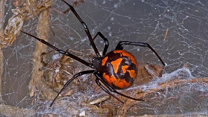 В Подмосковье появились смертельно опасные пауки