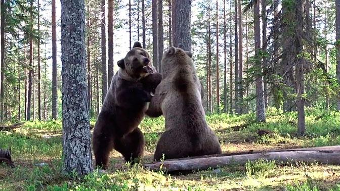 Лучший бой: яростную битву медведей сняли на видео