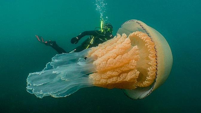 Беспозвоночная угроза: британские дайверы обнаружили медузу размером с человека