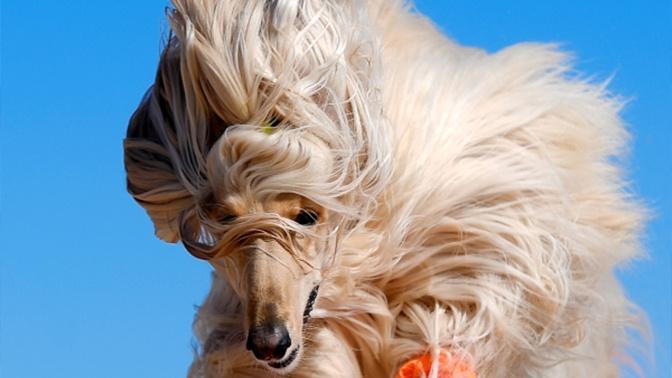 Кинологи назвали самые «вредные» породы собак