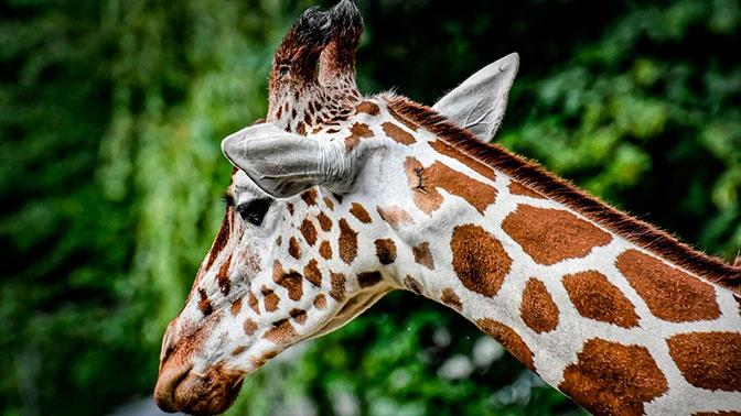 Турист серьезно пострадал после ДТП с жирафом в ЮАР