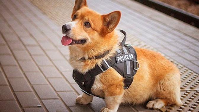 Российский полицейский-корги похвастался новой формой