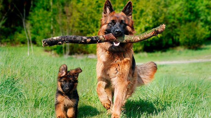 Ученые вывели новую формулу для пересчета собачьего возраста в человеческий