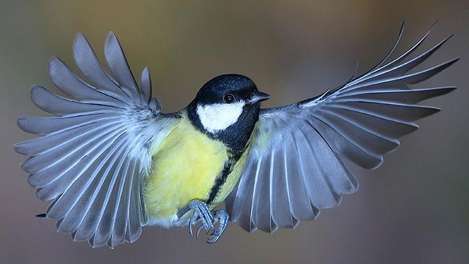 Синицы начали убивать птиц из-за изменения климата