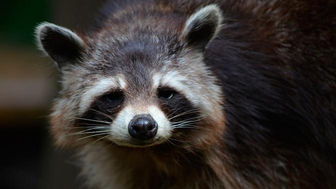 В екатеринбургском зоопарке енот искусал ребенка