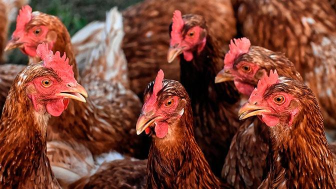 В Роспотребнадзоре рассказали о распространении птичьего гриппа