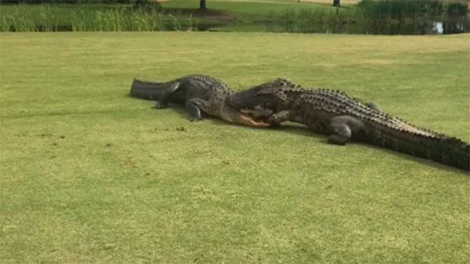 Смертельная битва: сражение крокодилов попало на видео