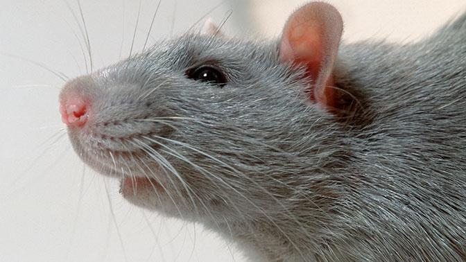 В Роспотребнадзоре рассказали, какие животные переносят бубонную чуму