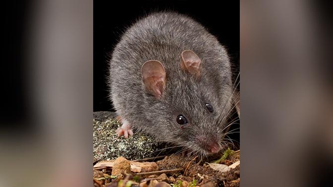 Дым без огня: почему загадочно погибшая от стихии мышь озадачила ученых
