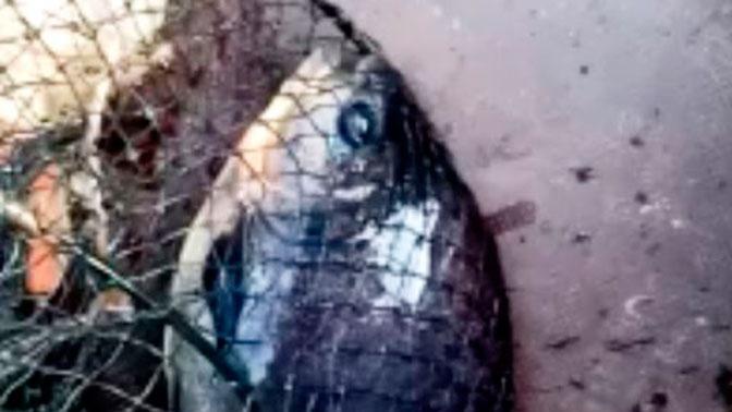В Татарстане рыбак поймал похожую на пиранью рыбу: видео