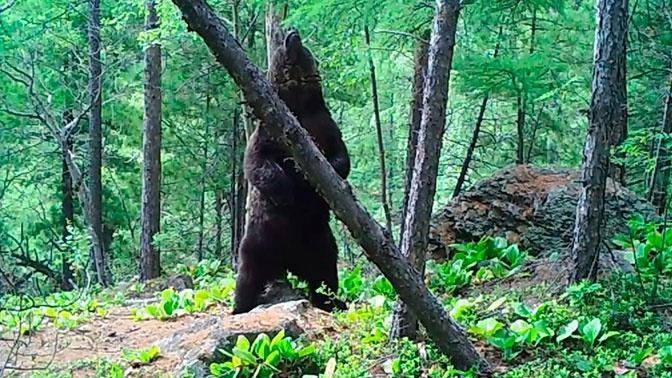 «Танцующий» вокруг дерева на Байкале медведь попал на видео