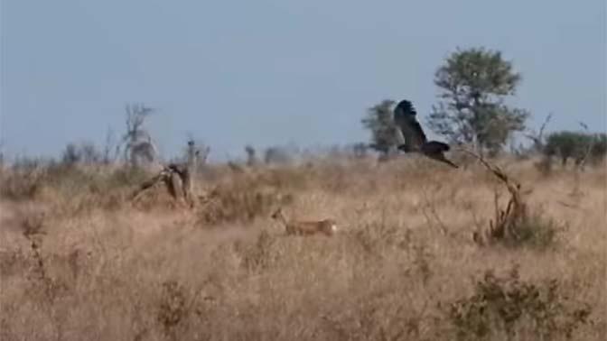 Ловкая антилопа обхитрила свирепых шакалов и стремительного орла: видео