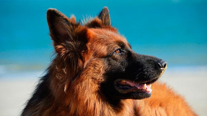 В России могут ввести специальные курсы для владельцев крупных собак