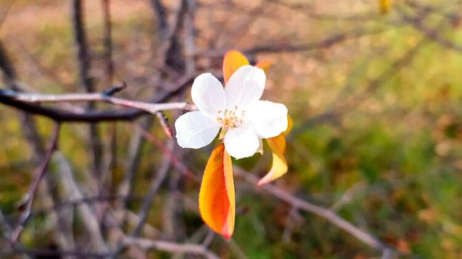 В Омске из-за тепла снова зацвели яблони и шиповник