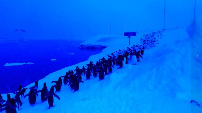 Колонна на обед: выстроившиеся за рыбой пингвины в Антарктиде попали на фото