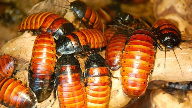 Ученые из Японии научили тараканов работать
