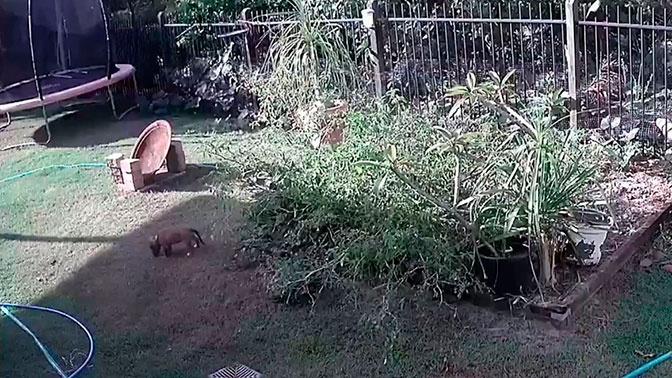 Австралийка голыми руками вырвала щенка из хватки питона: видео