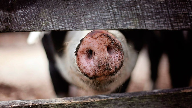 В Нижнем Тагиле выявили очаг африканской чумы свиней