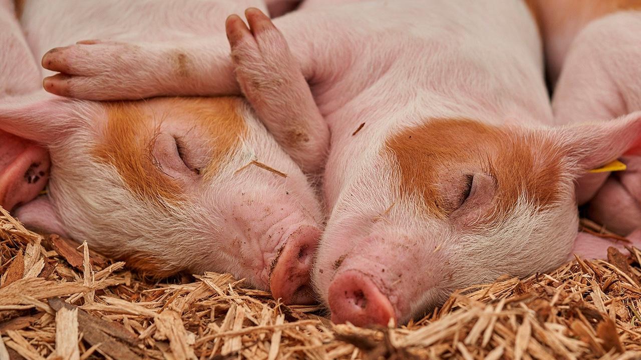 В Китае запустили торги фьючерсами на свиней