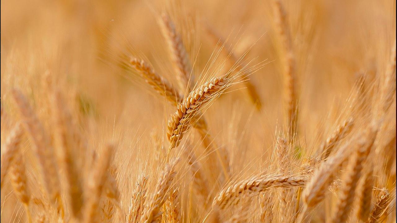 Минсельхоз США назвал рекордным урожай пшеницы в РФ