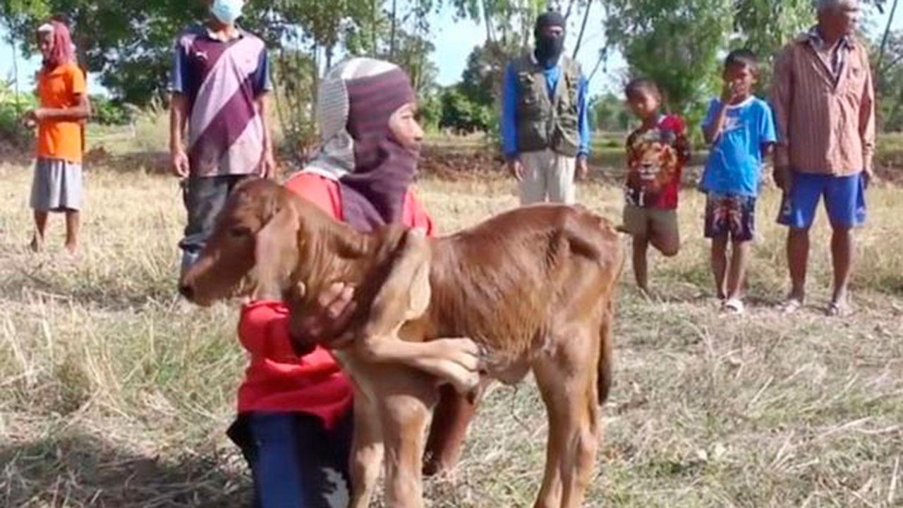 В Таиланде сделали из теленка с пятью ногами предсказателя