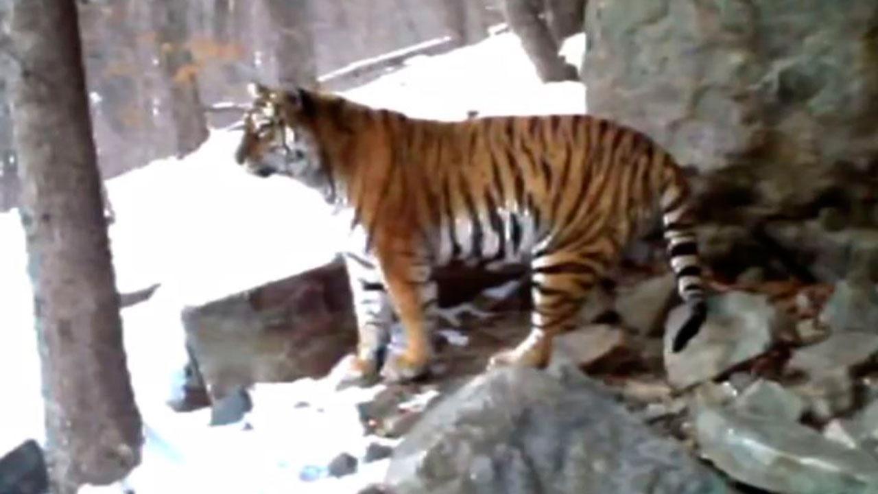 Неуклюжий тигр и ловкий леопард попали на видео в Приморье