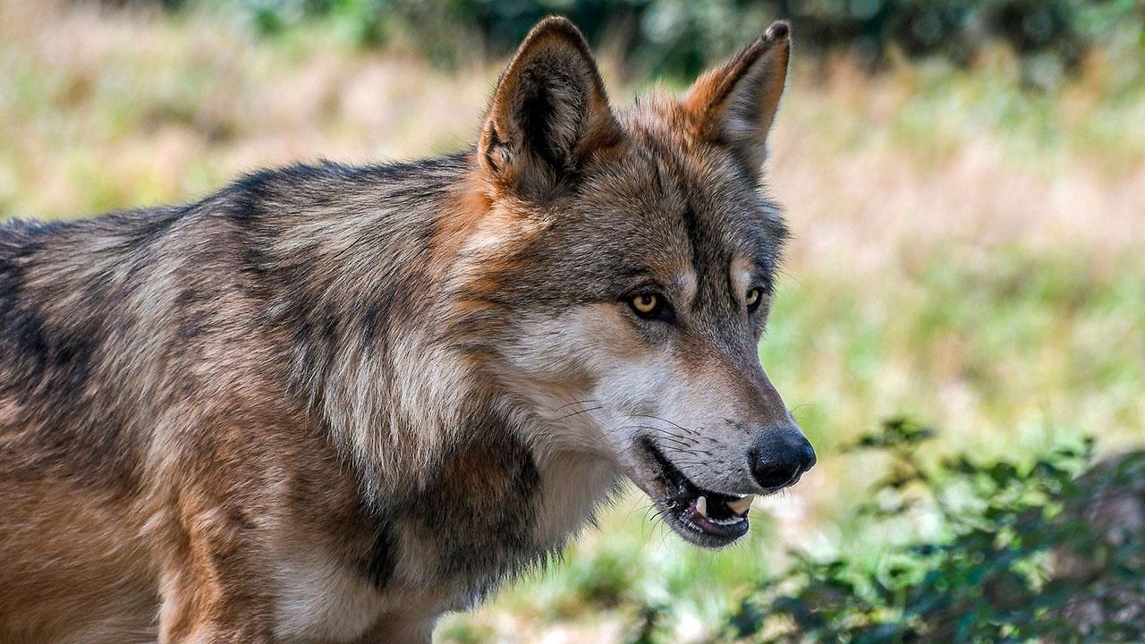 Охоту на волков могут запретить в Испании