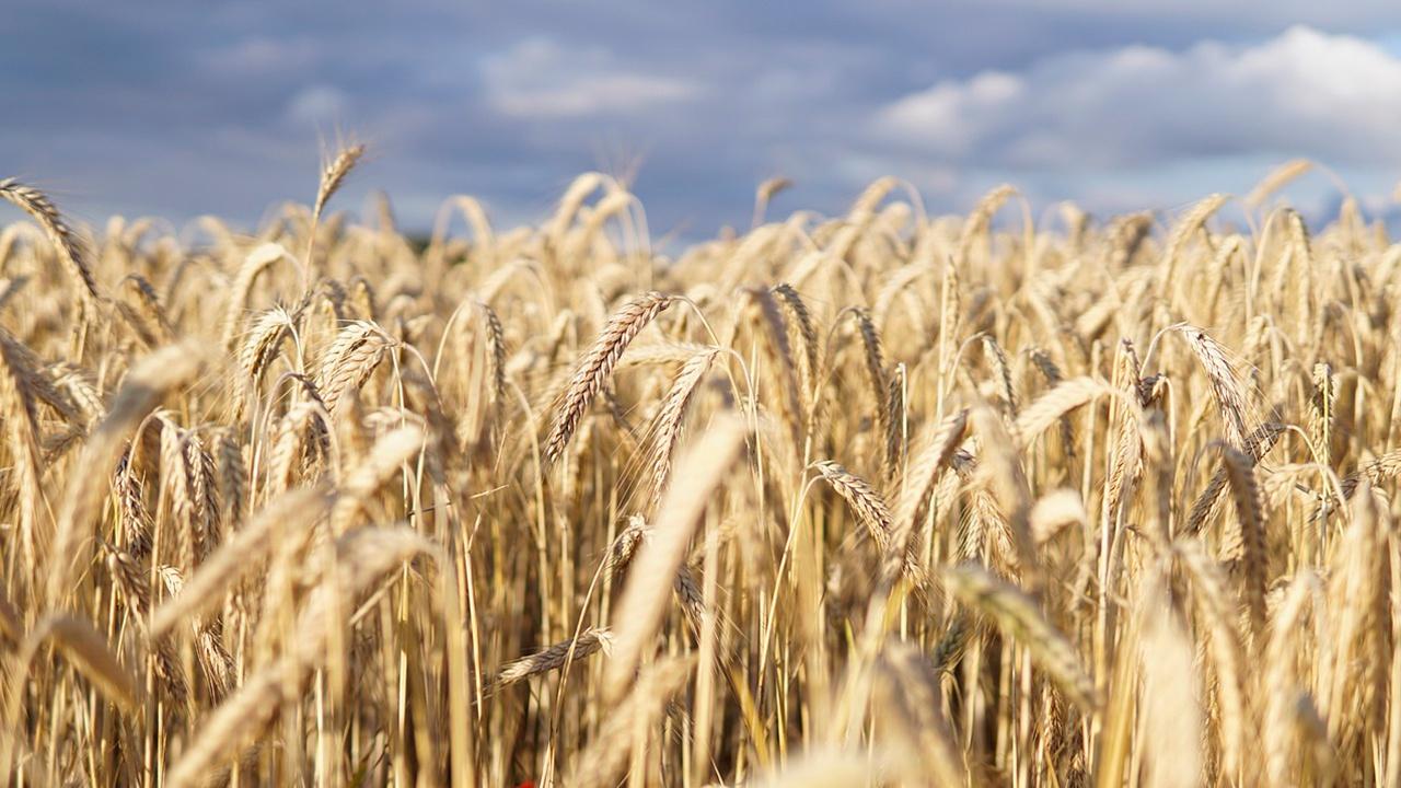 «Зерновой демпфер»: кабмин РФ утвердил гибкую пошлину на пшеницу, кукурузу и ячмень
