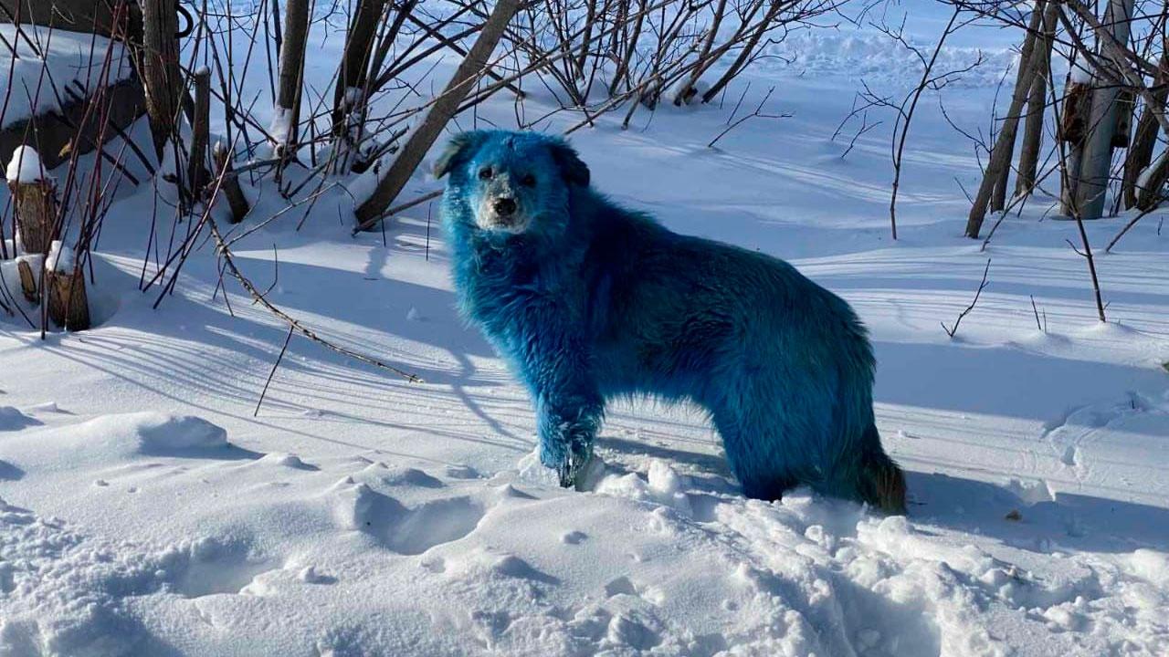 Химический окрас: в Дзержинске объяснили появление голубых собак