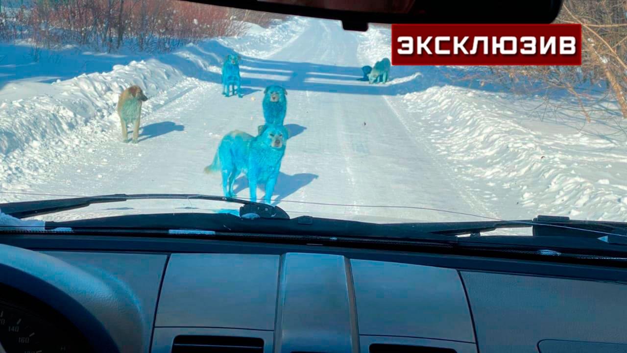 Ветеринар оценил возможные риски для здоровья голубых собак в Дзержинске