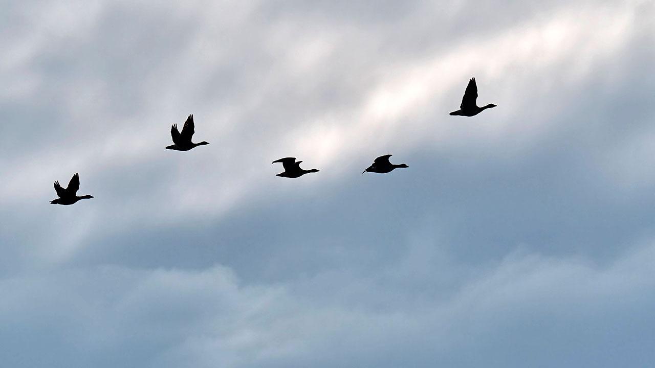 Птицы научились читать «магнитную карту» Земли