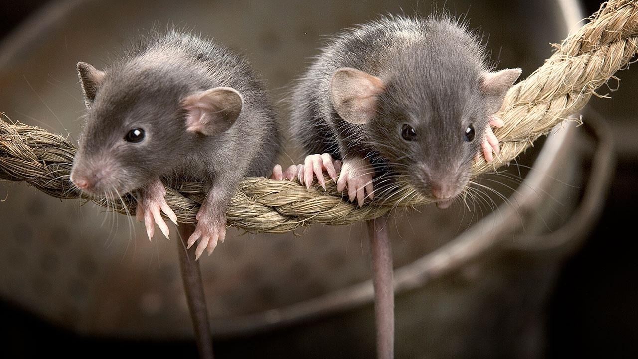 Гигантские мыши заживо съедают буревестников на британском острове
