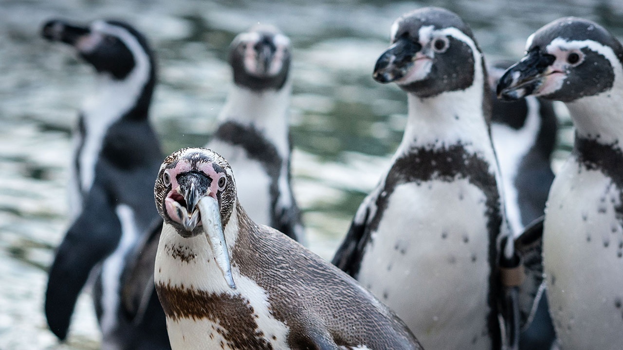 Норвежских пингвинов вакцинируют от птичьего гриппа после карантина