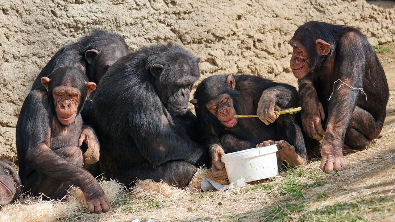 В чешских зоопарках шимпанзе созвонились по Zoom