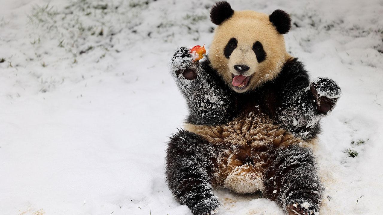 В Бельгии на сотрудника зоопарка напала панда