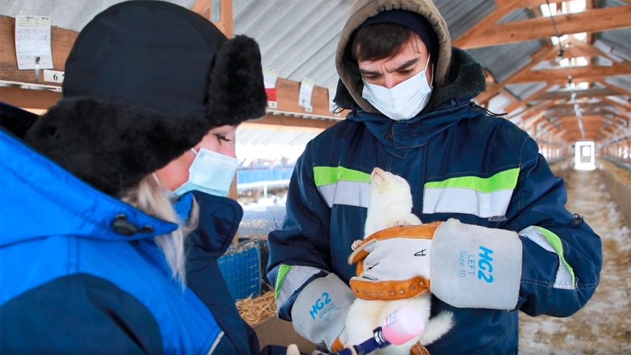 В Россельхозе показали, как вакцинируют норку и кролика от коронавируса