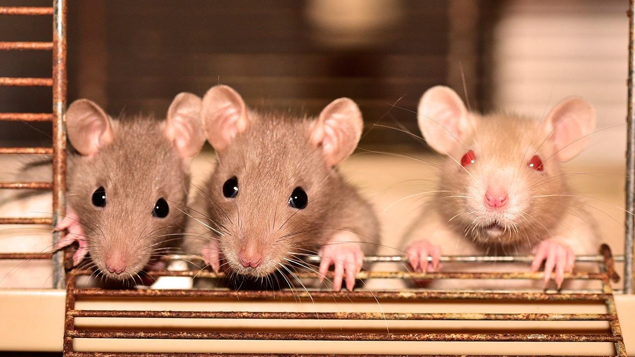 Российские ученые научились диагностировать рак с помощью спящих под наркозом крыс