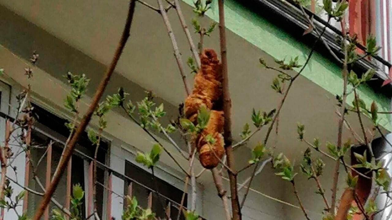«Боятся, что проникнет в квартиру»: жители Польши испугались круассана на дереве