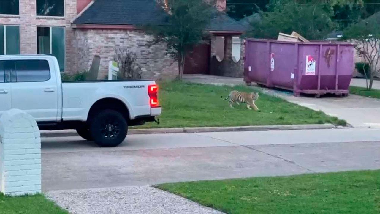 В США обнаружили тигра во дворе жилого дома