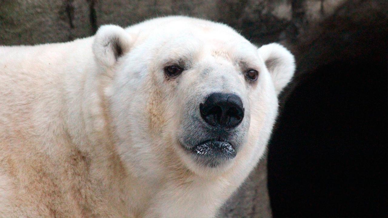 Минобороны и РГО доставили из Якутии в Москву нуждающегося в спасении белого медведя