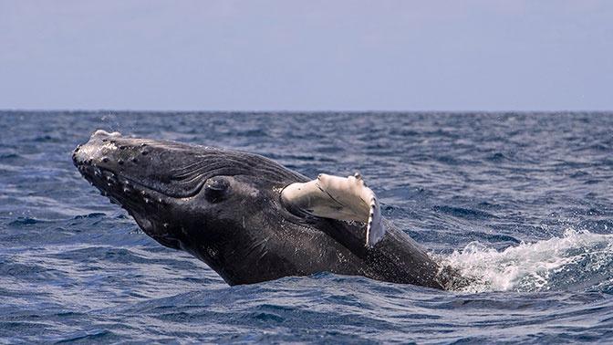 У берегов Нью-Йорка обнаружили горбатых китов
