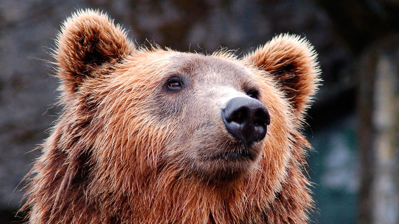Подросток погиб при нападении медведя на туристов в Красноярском крае